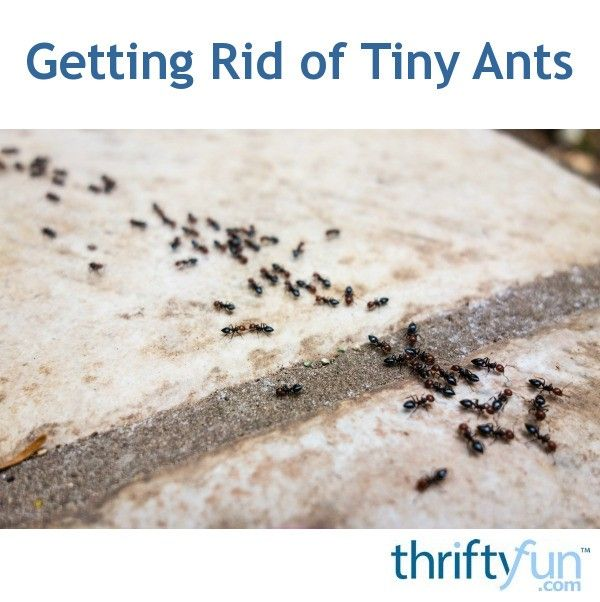 Both borax powder and diatomaceous earth can be effective in deterring ants. This is a guide about getting rid of tiny ants.