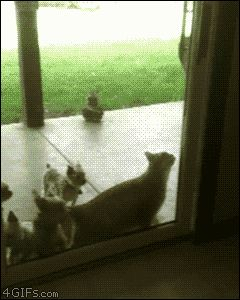 Clever cat opens sliding glass door lets itself and friends inside -- awesome GIF! They are evolving, I'm positive.