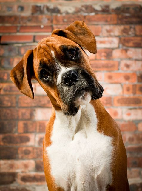 Boxers were developed in Germany in the 19th century.  They were used for dog fighting and to run down and hold large game such as wild boar and bison until the hunter could arrive.  The breed is known for standing up on its hind legs and batting at its opponent, appearing to box with its front paws, thus the name Boxer.