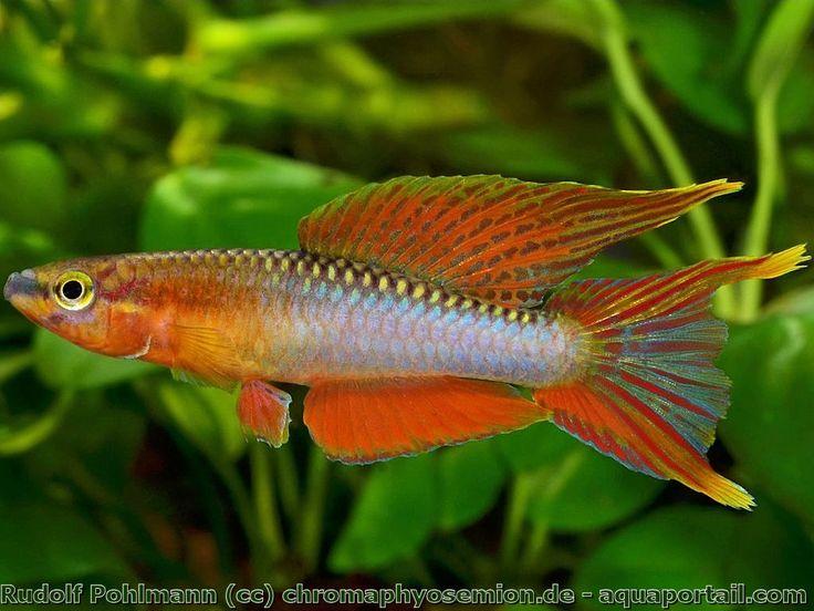 73 best poissons d 39 aquarium images on pinterest fish - Poisson shark aquarium ...