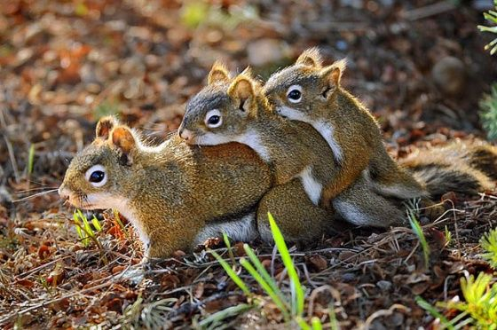 Squirrel-train: Critters, Animal Kingdom, Creature, Leader, Cute Humorous Amazing Animals, Animals Sm Wildlife, Chipmunks, Follow