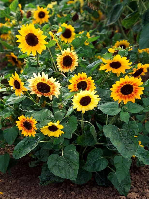 Sunflowers are colorful giants and are one of the first flowers many children will recognize. A sunflower-growing competition appeals to any age of gardener. Use these easy steps from HGTV Gardens to plant your first batch.