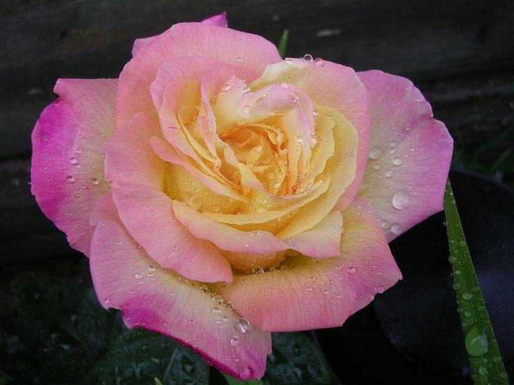 An absolutley stunning rose!