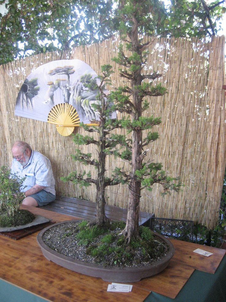 The 25 best ideas about redwood bonsai on pinterest for Zen garden trees