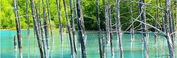Silver birch trees in a blue pond, Furano, Hokkaido, Japan