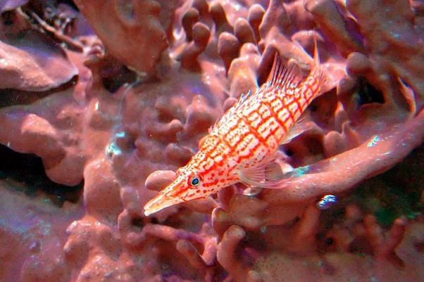 Een van de bijzondere dieren in de Rode Zee is de spitssnuit koraalklimmer.