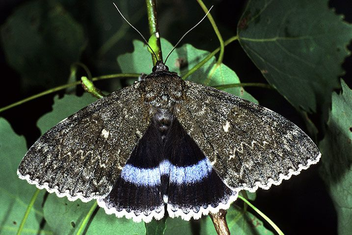 Clifden Nonpareil  Very rare and very beautiful, with the largest expanse of blue among UK moths. The colour's virtual absence in other species – while common in butterflies – is one of many puzzles to be solved