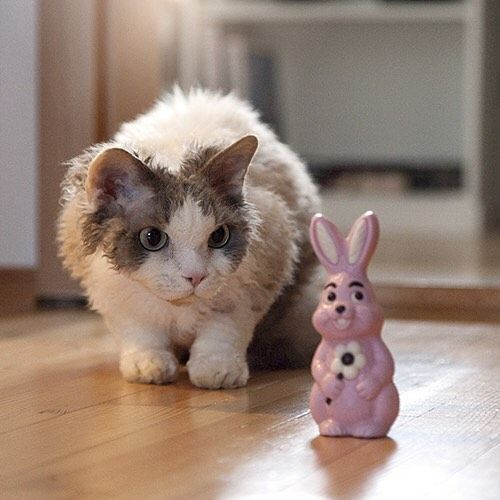 I found a pink Easter Bunny and named him Detlev. Now we are friends until I will have a snack 😸🐰🍫 #easter #easterbunny #pink #chocolate #woistdetlev #lauenstein #catsofinstagram #devonrex #katze #catstagram #cats #neko #fluffy #balousfriends #bestmeow #osterhase #ostern #bavaria #nofilter #catoftheday #teamfancykitty #cat_features #instacat_meows #excellent_cats #shareacat #catcontent