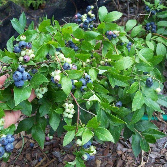 33 Best Shrubs I Have Images On Pinterest Raspberries