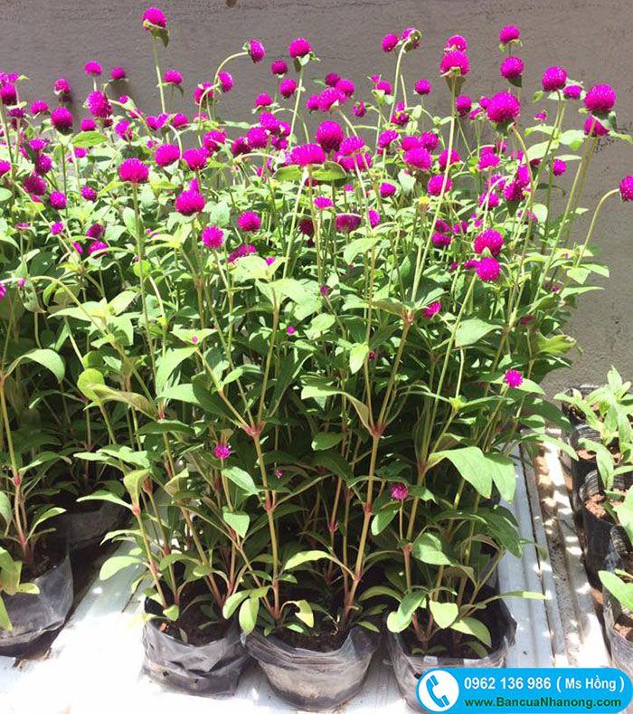 Hoa cúc Bách Nhật hay còn gọi là hoa cúc áo, hoa màu tím nở rộ nhiều vào mùa hè và mùa thu. Công dụng cúc Bách Nhật trồng trang trí sân sườn, công viên, dọc đường phố, cắm lọ, chữa bệnh.