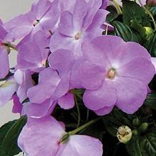 The New Guinea #Impatien, an annual, is selected for it's long lasting performance and large flower size. A striking addition to any garden! For more alternatives, visit us at: http://www.sheridannurseries.com/products_and_services/product_selection/shade_impatiens_alternatives