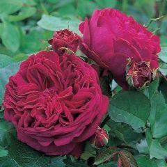 Falstaff - David Austin Roses Can be a climber to 6ft