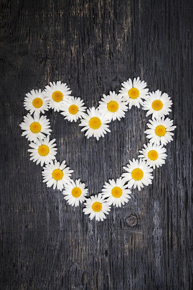 Daisy Heart by Elena Elisseeva