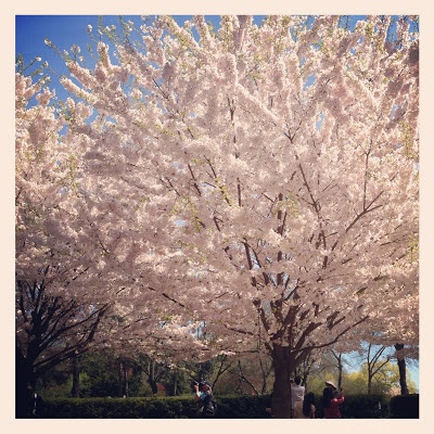 Toronto Mama: Cherry Blossoms in High Park. A must-see!