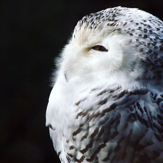 When They Ask If You Have All Your Holiday Shopping Done Owl Get To It Memberships To Woodlandparkzoo Make Pret Woodland Park Zoo Owl Photos Beautiful Owl