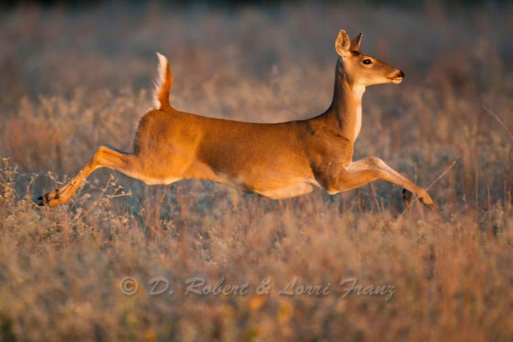 Whitetail deer | Yellowstone Nature Photography by D. Robert Franz