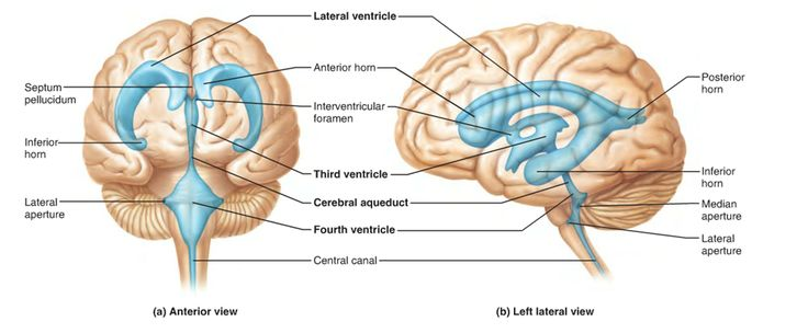 the human brain the brain and search on pinterest : brain ventricles diagram - findchart.co