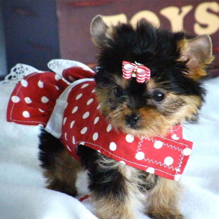 Yorkie Puppy Teacup Tinylittlepuppies