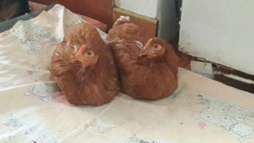 No comments for these chicken, its name are Tola and Maruja