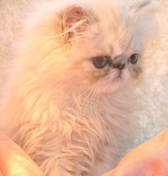 Himalayan kittens for sale in reading pa