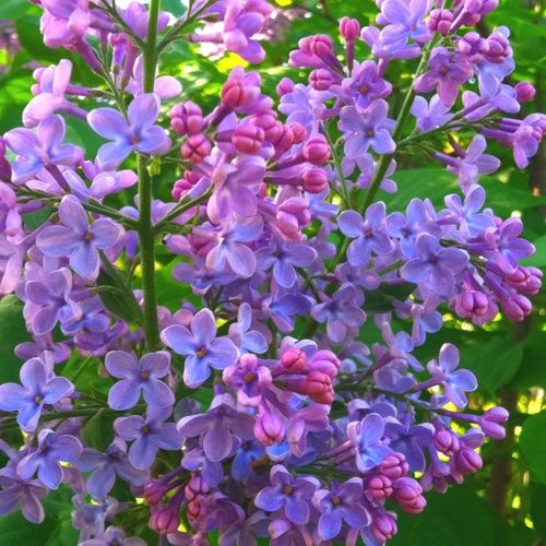 For me, the lilacs have always been the gauge whether Summer is early or late. Generally in Southern Sweden and also in Maine, they bloom in early June.