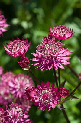 RHS Plant Selector Astrantia major 'Ruby Wedding' / RHS Gardening - Size Ultimate height 0.5-1 metres Ultimate spread 0.1-0.5 metres Time to ultimate height 2-5 years