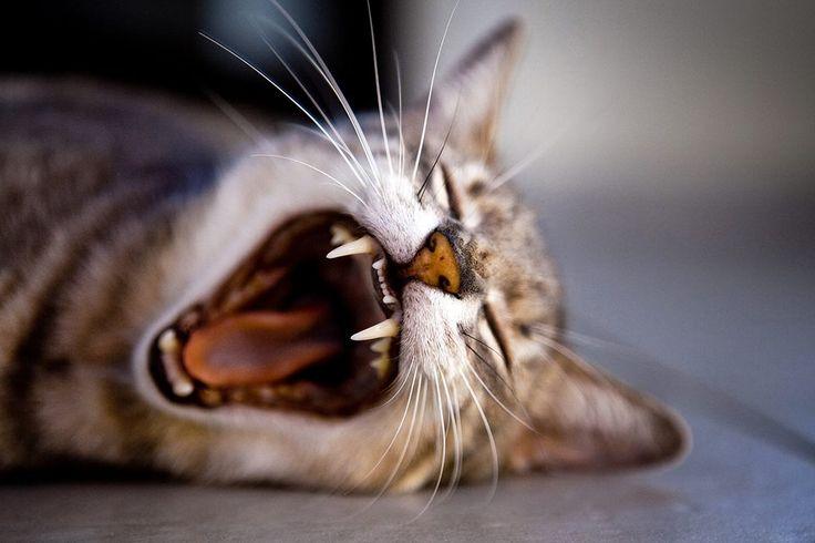 Yawning cat   Inspirowani Naturą