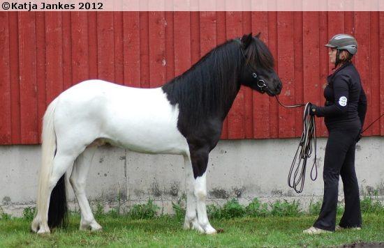 Black tobiano Icelandic stallion Hlynur frá Austurkoti