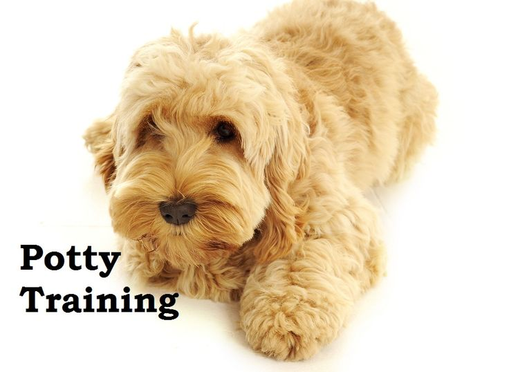 Cockapoo Puppies. How To Potty Train A Cockapoo Puppy. Cockapoo House Training Tips. Housebreaking Cockapoo Puppies Fast & Easy. Share this Pin with anyone needing to potty train a Cockapoo Puppy. Click on this link to watch our FREE world-famous video at ModernPuppies.com