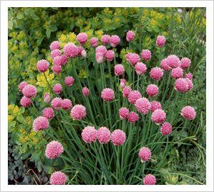 Allium schoenoprasum 'Forescate' ORNAMENTAL CHIVES This is an ornamental as well as culinary form of chives with large balls of rose-purple flowers held above handsome evergreen foliage. 'Forescate' is happy in any sunny well drained spot. Cut off the flowering heads before they seed as any seedlings will not breed true. Good for an edge or as a decorative edible plant in the vegetable garden. 30cm by 30cm.