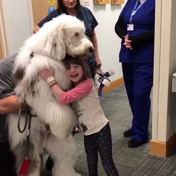 This hospital therapy dog is one big teddy bear for the kids   Zammy the Sheepad...
