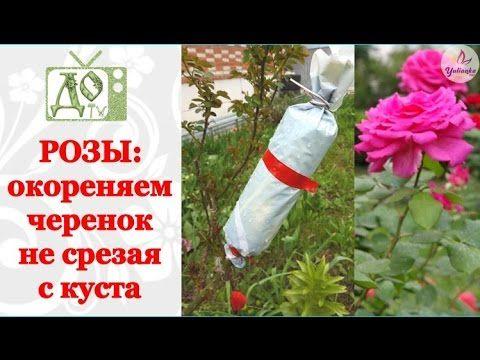 РОЗЫ: окореняем черенок не срезая с куста. Размножаем РОЗЫ легко и просто!