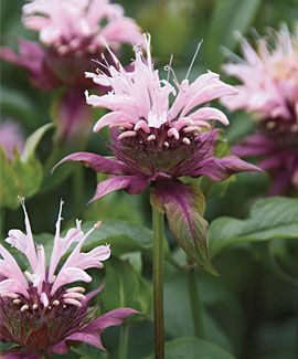 Monarda, 'Beauty of Cobham' - will take quite a bit of shade. Smells glorious. The leaves are used in Earl Grey tea.