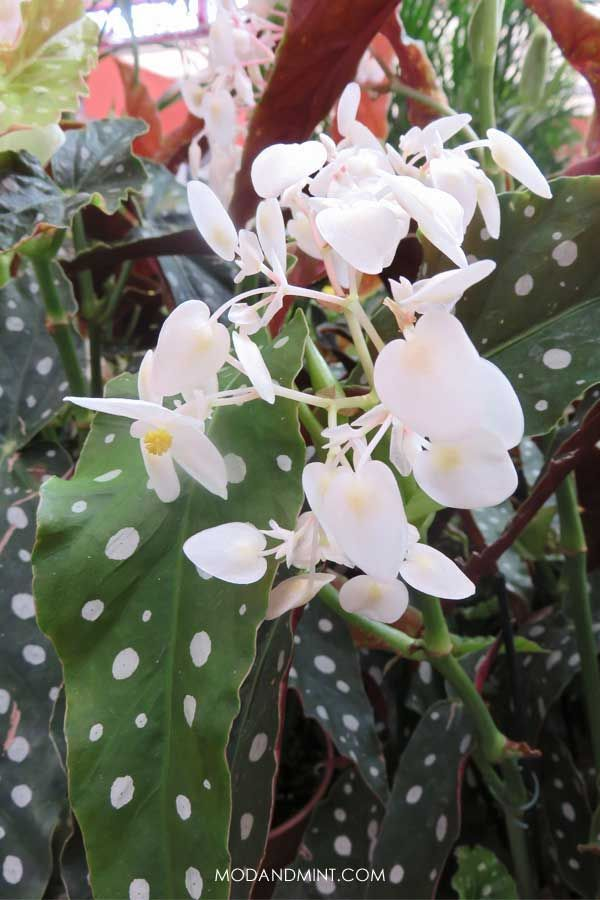 Begonia Maculata How To Care For A Polkadot Plant Begonia