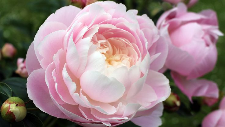 How To Grow Your Own Gorgeous Peonies  http://www.rodalesorganiclife.com/garden/how-grow-peonies