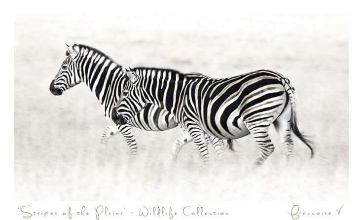 """Stripes Of The Plain"" {Wildlife Collection} by Francoise V"