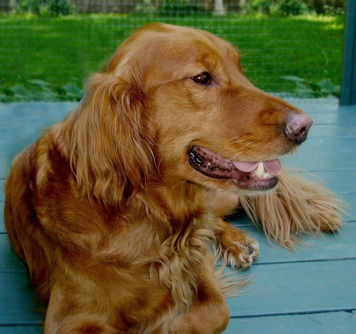 golden retriever red the 25 best red golden retrievers ideas on pinterest 9678