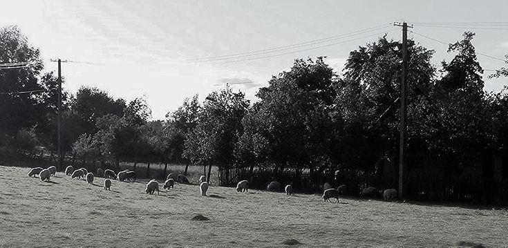 https://flic.kr/p/JvGeDq | sheeps  -  North Romania