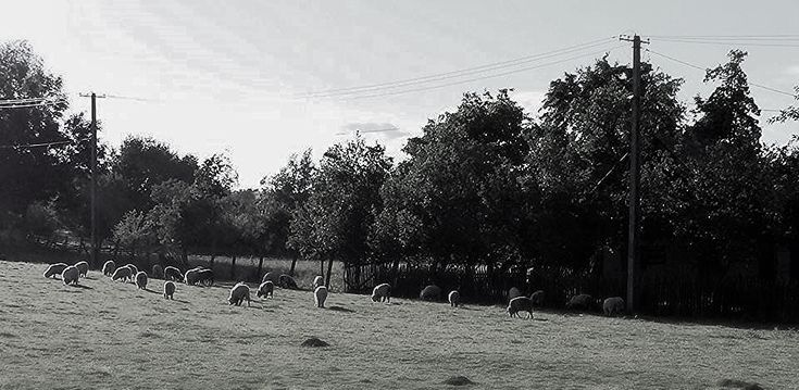 https://flic.kr/p/JvGeDq   sheeps  -  North Romania