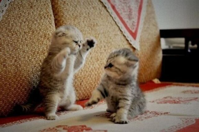 Cute Kittens Play Fighting Animals Funny Animal Pictures Kittens Cutest