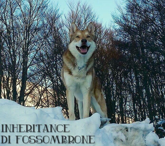 Inheritance di Fossombrone 🐾🐺❄️ - 3 anni di età - proprietà: Verio Cardoni #Saarloos #FOSteam #Fossombrone2017