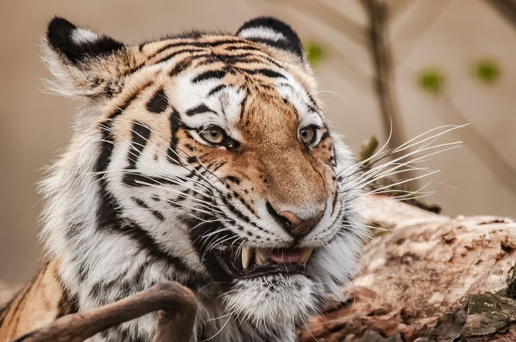 Panthera tigris altaica by Graziella Serra Art & Photo on 500px