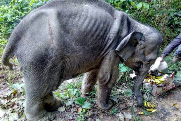 When rescuers from BKSDA (Balai Konservasi Sumber Daya Alam) discovered this 3-month-old baby elephant wandering all alone in the forest, they assumed her mother had been a casualty of the palm oil industry.