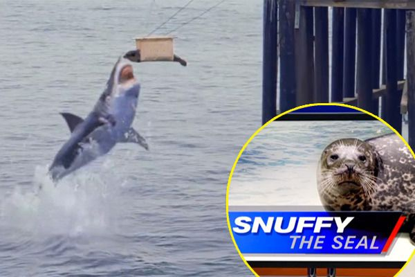 Shark Week Snuffy The Seal!!!! Its a bad week to be a seal! SNUFFY!!!!!!