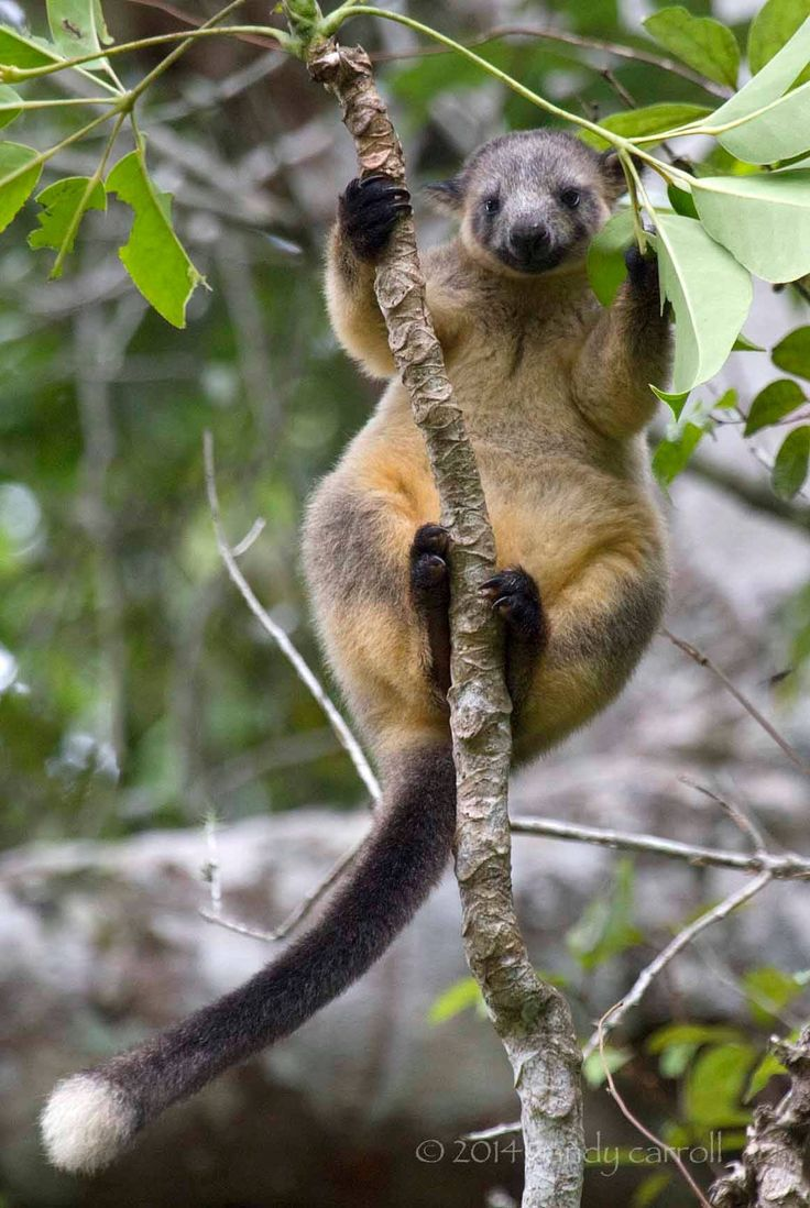 Lumholtz Tree-kangaroo found in the rain forests Far North Queensland. Australia.com Photo by Sandy C Photography