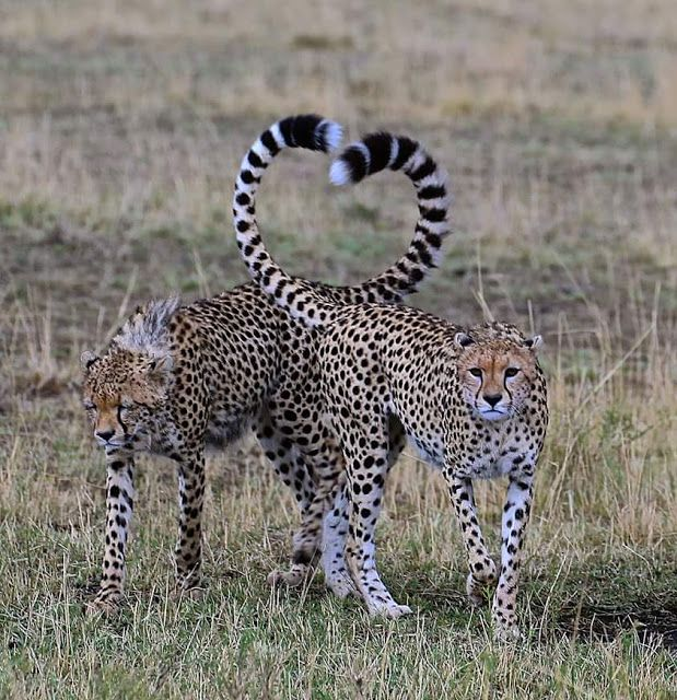 Amazing shots of affectionate Cheetahs with their tails perfectly angled into the shape of a classic heart.