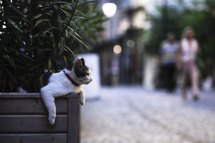 O pisică se odihneşte într-un ghiveci, pe strada Lipscani din Centrul Vechi, în Bucureşti, joi, 14 august 2014. (  Octav Ganea / Mediafax Foto  ) - See more at: http://zoom.mediafax.ro/travel/centrul-vechi-al-bucurestiului-13096106#sthash.KInf8tRK.dpuf