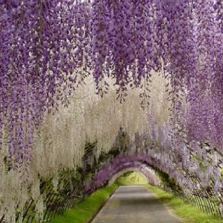 gorgeous driveway: Walks, Color, Fuji Gardens, Parks, Goats Chee, Kawachifuji, Kawachi Fuji, Wisteria Lane, Japan Gardens