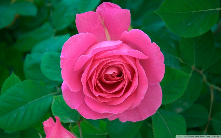 Top Delightful Pink Rose Images and Hd Wallpaper