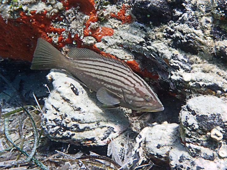 Striped Grouper